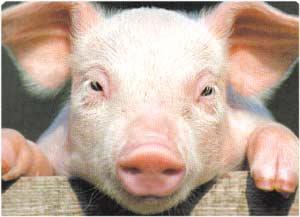 Animale Porcul modul de viata si caracteristicile lui animal .com .ro