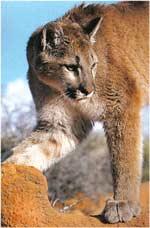Poze cu Puma