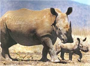Animale Rinocerul modul de viata si caracteristicile lui animal .com .ro