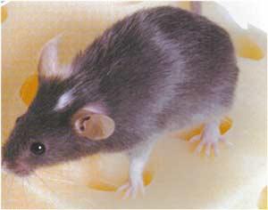Animale Soarecele modul de viata si caracteristicile lui animal .com .ro
