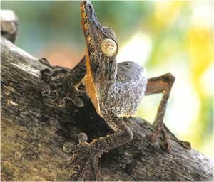 Animale Soparla gecko modul de viata si caracteristicile lui animal .com .ro