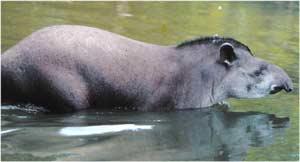 Animale Tapirul modul de viata si caracteristicile lui animal .com .ro