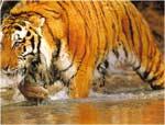 Imagini colorate Tigrul