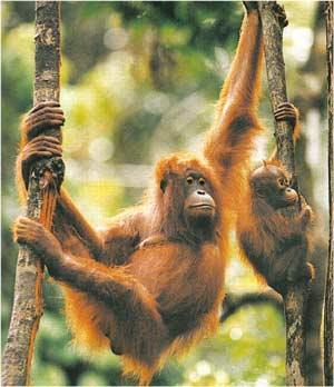 Animale Urangutanul modul de viata si caracteristicile lui animal .com .ro