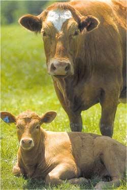 Animale Vaca modul de viata si caracteristicile lui animal .com .ro