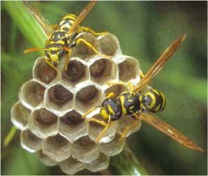 Animale Viespea modul de viata si caracteristicile lui animal .com .ro