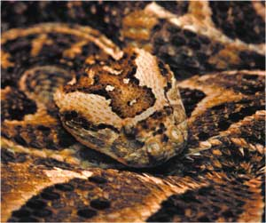 Animale Vipera modul de viata si caracteristicile lui animal .com .ro