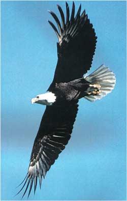 Animale Vulturul de mare modul de viata si caracteristicile lui animal .com .ro