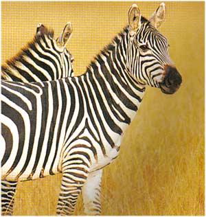 Animale Zebra modul de viata si caracteristicile lui animal .com .ro