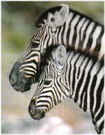 Poze Zebra