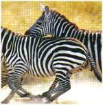 Imagini colorate Zebra