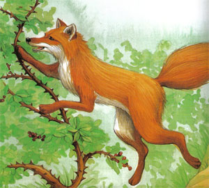 Animale Vulpea si macesul modul de viata si caracteristicile lui animal .com .ro